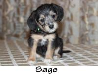 MEET SAGE!  This adorable little chubby puppy will be