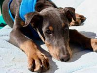 SAGE  Doberman Pinchser | Blue | Now Small (11-25