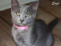 Sage's story Sage is a beautiful gray kitten! She is