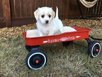 Sage's story These fluffy puppies are ready to go to