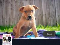 Sage is a 2 month old Rottweiler/Pit Bull mix. She is