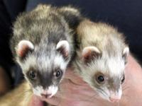 Ferrets are affectionate, intelligent small animals