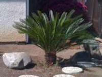 Here I have a sago palm its about almost 3 feet tall