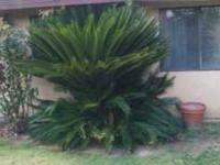 Hi I have big sago palm for sell, about 8' tall, the