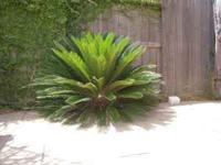 I have three Beautiful Sago Palm trees and all in need