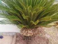 sago palm trees 150 for the one in pic and i have many