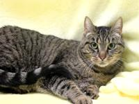 Primary Color: Grey Tabby Weight: 11 Age: 3yrs 3mths