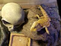 Species:Bearded Dragon  Rescue, baby that has been