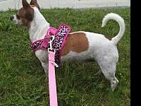 "Saidie's story ""Saidie"" is an adorable little JRT/Chi"