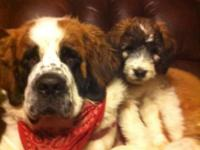 , if YOU ARE LOOKING FOR THE PERFECT SAINT BERNARD