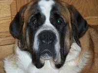a one and a half year old female saint bernard needs a