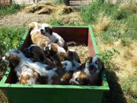 1/2 Saint Bernard and 1/2 Great Pyrenees. 4 females and