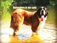 2 year old male Saint Bernard in his prime!! He is a