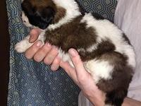 We have a 3 week old litter of AKC registered Saint
