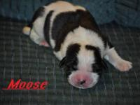 I have a BEAUTIFUL litter of Saint Bernard puppies.. We