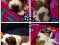 3 MALES. We have 6 male and 5 women St. Bernard new