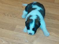 We have 10 gorgeous, pure reproduced St.Bernard young