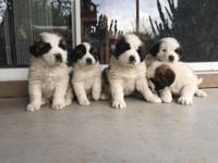 Pure Breed Saint Bernard Puppies first shots and