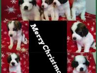 Seven pure reproduced Saint Bernard puppies for sale!!