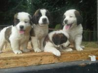 We have a adorable litter of Purebred St. Bernard