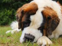 Akc Saint Bernard puppies due October 11, 2015. Dad is