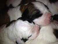 We have a new litter of our precious Gentle Giants! 10