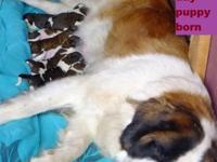 New born puppies 09/10/13 AKC register, Champion blood