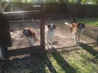7 saint Bernard puppies for sale 3 females 4 males both