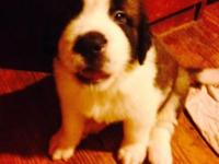 CKC Saint Bernard puppies $650 OBO. We have 6 males and