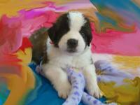 Akc Saint Bernard Puppies. Exceptional Beauty, you