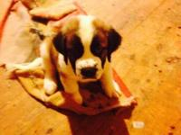 CKC Saint Bernard puppies. We have 6 males and 3