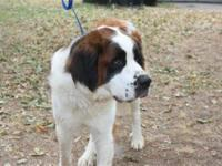 I have a 8 week old male St. Bernard puppy that my