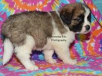 st bernard Pets and Animals for sale in Millersburg, Indiana - Puppy