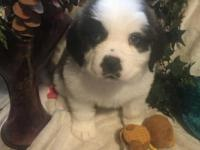 We have 6 female AKC Saint Bernard puppies available