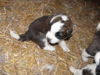Saint Bernard Puppies,Purebred, excellent temperament ,