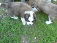 Saint Bernard Puppies,excellent temperamet, beautifully