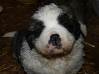 Saint Bernard Puppies, excellent temperament,