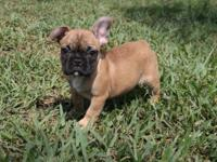 I have a litter of French Bulldogs. Up to date on