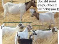 All goats will be going to sale soon so get them while