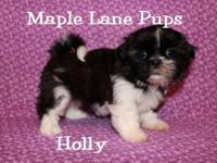 Holly is a Beautiful AKC Shih Tzu. She is a Dark True