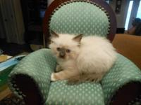 Four female ragdoll seal mitted kitties available for