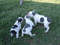 I have a litter of beautiful babies left ...available