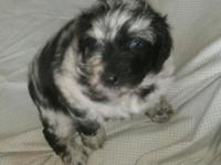 Sally is a blue merle Aussie Doodle. Her dad is an