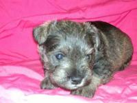 One baby gal left! Salt and Pepper female puppy born on