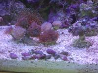 CARPET CORAL - purple in color, waves like hair, spread