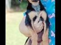 Saluki - Gretchen - Large - Young - Female - Dog