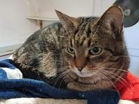 Sam's story Domestic Short Hair & Tabby Mix - Adult -