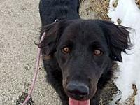 Sam's story Sam I Am! Sam is a 4 year old Retriever/