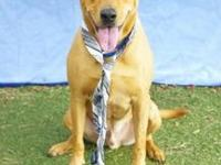 Sam's story Sam is a beautiful yellow Lab mix. He is a