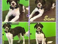 Sam's story Sam is a shelter rescue, Male, Terrier x,